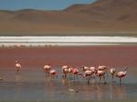 James's Flamingos
